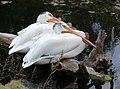Pelicans nebraska.jpg