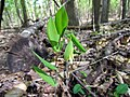 Perfoliate Bellwort Nature Hike Duke Forest Durham NC 0263 (26641657446).jpg