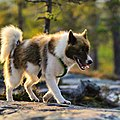 Perro groenlandés 2.jpg