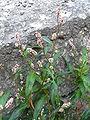 Persicaria maculosa 003.JPG