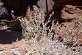 Petalidium variabile-Twyfelfontein (6).jpg