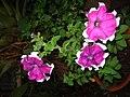 Petunias de la hermosa...yeye - panoramio.jpg
