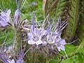 Phacelia tanacetifolia (Boraginaceae) flowers.JPG