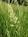 Phalaris arundinacea (3883207046).jpg