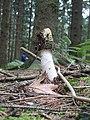 Phallus impudicus Stinkmorchel 2.jpg
