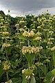 Phlomis russeliana kz1.jpg