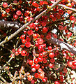 Phoradendron californicum 6.jpg