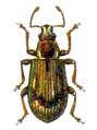 Phyllobius sinuatus.png