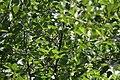 Phylloscopus sibilatrix, Lalinačka slatina, Srbija (14).jpg