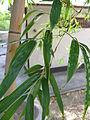 Phyllostachys heterocycla 'Tao Kiang'2.jpg