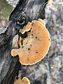 Phyllotopsis nidulans 121176329.jpg