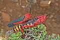 Phymateus morbillosus (Pyrgomorphidae) (4761619550).jpg
