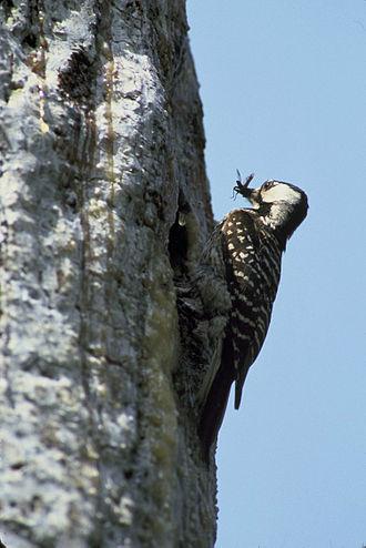 Kiamichi River - Red-cockaded woodpecker