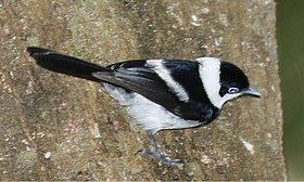 Pied Monarch.jpg