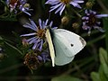 Pieris rapae - Small white - Репница (41177974031).jpg