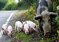 Pigs grazing on the road at Bramshaw - geograph.org.uk - 654209.jpg