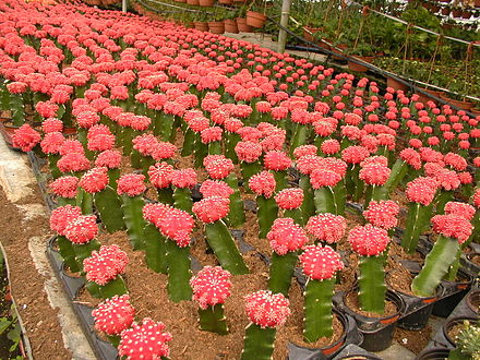Grafted forms of Gymnocalycium mihanovichii grown in Israel PikiWiki Israel 14907 The Cactus Avenue.JPG