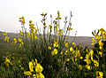 PikiWiki Israel 29445 Spanish Broom.jpg