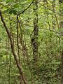 Pileated Woodpecker on tree, Red River Gorge, Ky.jpg