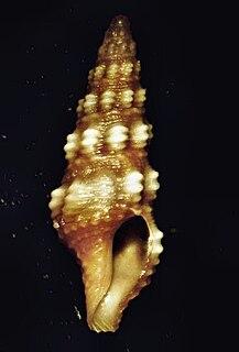 <i>Pilsbryspira</i> Genus of gastropods