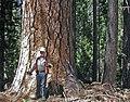 Pine28a-01 t607 - Flickr - USDAgov.jpg