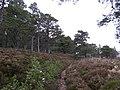 Pine woods, Creag Mhigeachaidh - geograph.org.uk - 318526.jpg