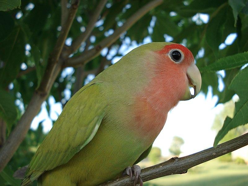 dwergpapegaai (lovebird)