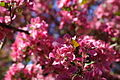 Pink-flowers-tree - West Virginia - ForestWander.jpg