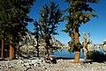 Pinus albicaulis P balfouriana cwsteeds.jpg