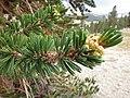 Pinus balfouriana austrina 9.jpg