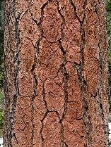 Pinus benthamiana 08822.JPG