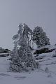 Pinus cembra hochfeld3721.JPG