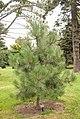 Pinus hartwegli, 2016-02-04-2.jpg