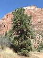 Pinus monophylla kz01.jpg