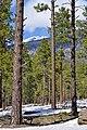 Pinus ponderosa Humphreys Peak.jpg