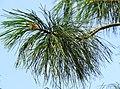 Pinus strobus Syrets3.JPG