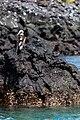 Piquero patiazul (Sula nebouxii), Las Bachas, isla Santa Cruz, islas Galápagos, Ecuador, 2015-07-23, DD 15.jpg
