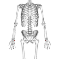 Pisiform bone 01 palmar view.png
