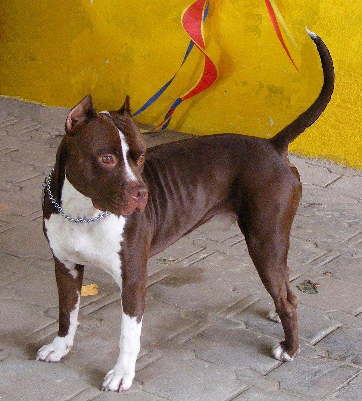 American Pit Bull Terrier - Howling Pixel
