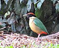Pitta versicolor - Noisy pitta.jpg