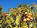 Pittosporaceae - Pittosporum undulatum Vent. (Fundación JBN de Viña del Mar) 001.jpg