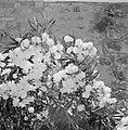 Plant in bloei in Ein Karem bij Jeruzalem, Bestanddeelnr 255-4309.jpg