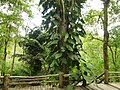 Plants at Queen Sirikit Botanic Garden - Chiang Mai 2013 2680.jpg
