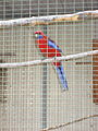 Platycercus elegans -Paphos Zoo -aviary-6.jpg