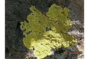 Pleopsidium chlorophanum.jpg