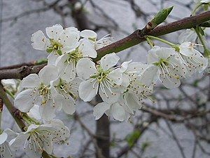 Victoria plum - Blossom