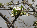 Plum blossoming02.jpg