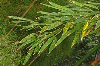 Phyllostachys bambusoides - Image: Poaceae Phyllostachis bambusoides 001
