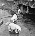Polar Bears at Chester Zoo taken in 1967 - geograph.org.uk - 737460.jpg