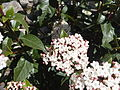 Polistes wasp on Viburnum tinus 01.jpg